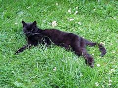 Boot amid the daisies (kingsway john) Tags: black grass daisies cat garden boot