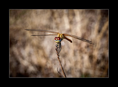 Common Darter (tkimages2011) Tags: france insect dragonfly provence darter lourmarin