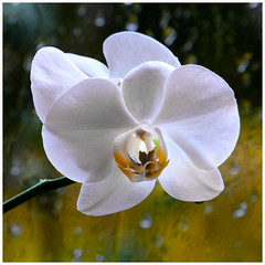Orchid (www.nielsdejgaard.dk) Tags: orkide orchid blomst flower rødovre