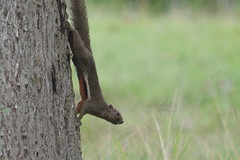Squirrel hunting for food (Lim SK) Tags: sciuridae squirrel