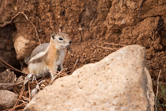 Golden-mantled Ground Squirrel - (jpmckenna - Tenquille Lake Up Next) Tags: brycecanyon brycecanyonnationalpark hiking hikingutah utah dayhikes getoutside nps optoutside callospermophiluslateralis goldenmantledgroundsquirrel