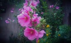 Pembe Hatmi ( Mallow Blossom pink rose ) (mehmetcok1) Tags: hatmi rose pink rosecoloured pinkrose mallowblossom pembe çiçek yaprak doğal yeşil fotoğraf makro htc camera