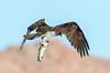 Osprey (Ed Sivon) Tags: american america canon nature wildlife water wild western white southwest desert clarkcounty clark bird nevada nevadadesert birdofprey mountain park