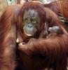 orangutan Lea and baby Krefeld JN6A1039 (j.a.kok) Tags: orang orangoetan orangutan primaat primate azie asia aap ape monkey lea krefeld mammal zoogdier animal motherandchild moederenkind baby
