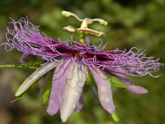 Passifora serratifolia (A Botanical Wonderland (Million+ views)) Tags: passiflora serratifolia x laurifolia hybrid cross passion flower maracuja botanical wonderland bud new