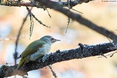 Gray-head female Naaras harmaahapsi (uusija) Tags: grayheadedwoodpecker picuscanus vaarniemi bird harmaapäätikka linnut luonto nature