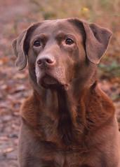 Kayla (Geziena) Tags: hond dog labrador bnos bruin huisdier portret