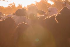 Cow's life IX (Josué Godoy) Tags: cow vaca vache australia animal sun sol soleil granja ferme farm