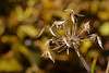 Lo que queda de los Agapantos (Hachimaki123) Tags: plant planta agapanto