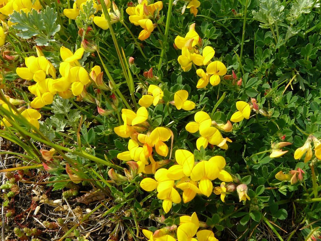 Lotus corniculatus3