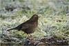 Blackbird in the cold (cconnor124) Tags: blackbirds smallbirds birdphotography wildlifephotography wildbirds birds uknature nature naturephotography canon100400lens canon7dmk11