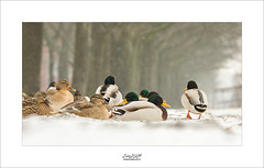 let's stick together... (Zino2009 (bob van den berg)) Tags: duck cold feet noswim pool closed winter wintertime light snow freezing close group duckie male female brown lying eyes disturbing pond holland januari zino2009