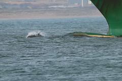 IMG_5829 (monika.carrie) Tags: monikacarrie wildlife scotland aberdeen dolphins dolphin cetacean mammal