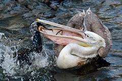 Mine,mine,mine.... (K.Verhulst) Tags: kroeskoppelikaan pelican pelikaan dalmatianpelican aalscholver greatcormorant birds vogels vis fish blijdorp blijdorpzoo diergaardeblijdorp
