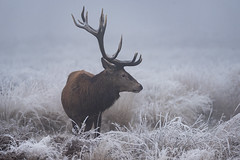 Frosty Antlers (Gary Hickson Photography L.R.P.S.) Tags: reddeer stag stags animal wildanimal wildlife wild richmondpark surrey london frost ice winter antlers landscape nikon d750