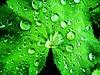 Nasser Mantel (frankhurkuck) Tags: ladysmantle alchemilla blatt garden garten frauenmantel wer nas green grün plants pflanze natur