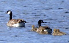 Geese (35) (lairig4) Tags: canada water scotland geese stirling goose reservoir goslings greylag norththird