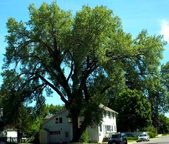 Largest living tree in the area (~nevikk~) Tags: property hugetree largetree