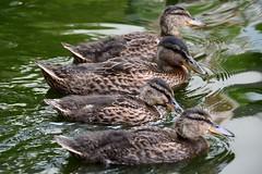 DSC_2033 (Joachim S. Müller) Tags: bird animal germany deutschland duck hessen duckling sit ente darmstadt anas anasplatyrhynchos tier vogel fraunhofer küken stockente fraunhofersit