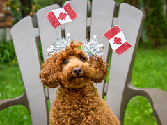 27/52 Pixie.  Canada Day (Pyper Pup) Tags: red flag canadaday celebrate toypoodle 52weeksfordogspixie