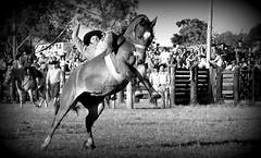 Equilbrio (Eduardo Amorim) Tags: brazil horses horse southamerica brasil criollo caballo cheval caballos cavalos pelotas pferde cavalli cavallo cavalo gauchos pferd riograndedosul pampa hest hevonen campanha brsil chevaux gaucho  amricadosul fronteira hst gacho  amriquedusud  gachos  sudamrica suramrica amricadelsur  sdamerika crioulo caballoscriollos criollos jineteada   costadoce americadelsud gineteada  crioulos cavalocrioulo americameridionale caballocriollo eduardoamorim cavaloscrioulos
