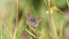 Silver-studded Blue (female) (Dr Wood's Wildlife Photos) Tags: argo plebejusargus silverstuddedblue heideblauwtje ljungblåvinge argusbläuling niñahocecillas azurédelajonc argusblåvinge tourbièreduvénec argusblåfugl