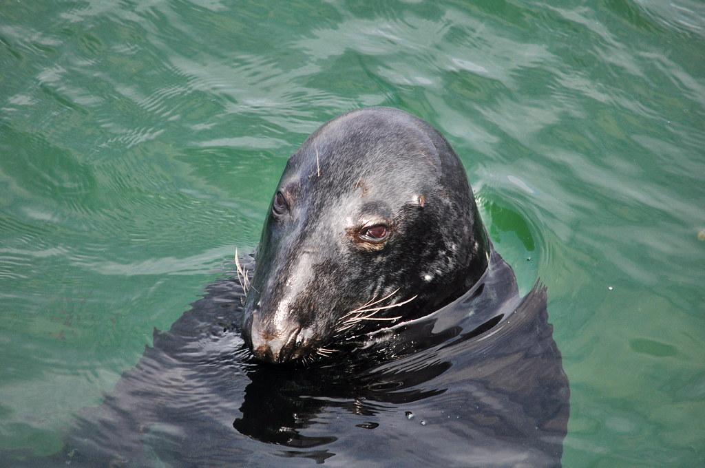 b4f8b633ca53 Wild seal (pedrik) Tags  seal chatham massachusetts usa d90  afsdxvrnikkor55300mm4556g gimp retinex 1993652015