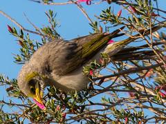 Noisy Miner bird