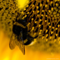 @ work (ewaldmario) Tags: sun black macro animal yellow closeup insect square austria nikon bright awesome bee gelb sunflower girasole burgenland biene jois sonnenblumen winden ewaldmario