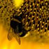 @ work (ewaldmario) Tags: sun black macro animal yellow closeup insect square austria nikon bright awesome bee gelb sunflower girasole burgenland biene jois sonnenblumen winden ewaldmario