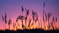 Sunset plants (AmiskhyykkyMedia) Tags: plants nature silhouette finland degerby amiskhyykkymedia