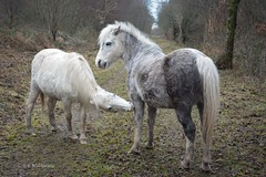 Ponies at Cors Caron (Zoe K Williams) Tags: corscaron ceredigion trees reflection reflections water reeds grass grasses wales welsh bog peat sedge naturereserve nature landscape sky still calm horses ponies grey brown gray white pony