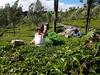 20161221_101728 b (Tartarin2009 (travelling)) Tags: india kerala munnar tea teaplantation workers crop harvesting travel people samsunggalaxys7 tartarin2009