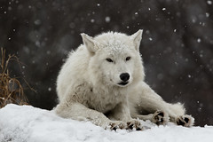 Arctic Wolf (Marc McDermott) Tags: arctic wolf toronto zoo captive canada snow snowing winter cold beautiful