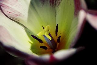 Sonnenberg Gardens & Mansion Historic Park ~ Canandaigua NY ~ Tulip