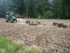 Wildschweine in Trappenkamp (christophrohde) Tags: wildfütterung wildschweine trappenkamp schleswigholstein