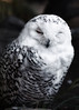 Snow Owl aka.Hedwig (patrickmai875) Tags: snow schnee owl eule schneeeule hedwig harry potter fantasy feather feder cute süs love liebe art kunst freetheowls canon 5d mark iv 70200mm f28 nature natur wildlife ngc national geographics wow white weis