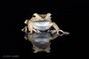 Borneo Eared Frog (Linda Martin Photography) Tags: dorset polypedatesotilophus wildlife bournemouth nature borneoearedfrog reptile canon5dmarklll uk coth naturethroughthelens ngc npc
