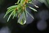 Tauwetter 2 (DianaFE) Tags: dianae winter nadelbaum wassertropfen regen