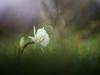 Narcissus cantabricus (luisotespi68) Tags: narcisos narcissus bulbos amarilidáceas flores flora vegetación naturaleza fondo bokeh desenfoque autochinon chinon 50mm f14