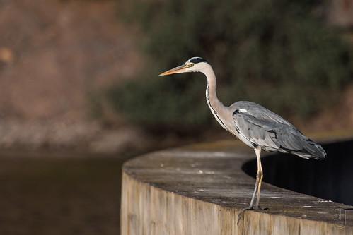 Grey Heron (Ardea cinerea)-7265