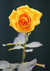 Olympic Rose 001 (DMT@YLOR) Tags: olympicrose rose yellow orange red olympicgames sydney australia created 20 garden home goodna queensland ipswich grafted plant bush cutting