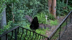 Shelly on the terrace (Karin Gottschalk) Tags: luminar macphun brush turkey shelley brushturkeys sydney newsouthwales australia wildlife panasonic dmcgh4 panasonicdmcgh4 gh4 lumix g 25f17 lumixg25mmf17 kuringgai