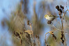Tarin des aulnes - Spinus spinus - Eurasian Siskin (olivier teilhard) Tags: tarindesaulnes spinusspinus oiseaux nature libre sauvage drôme vercors diois rhônealpes france canon7dmarkii canon300mmf4 olivierteilhard