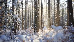 Luminous (reclaimednj) Tags: tuckerton newjersey unitedstates us zenithelios44m458mmf2 bassrivertownship bassriverstateforest nj 2017 forest winter snow