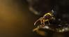 Dicyrtomina saundersi (markhortonphotography) Tags: deepcut surrey springtail wildlife leaflitterbugs thatmacroguy globby surreyheath collembola dicyrtominasaundersi nature markhortonphotography globularspringtail macro invertebrate