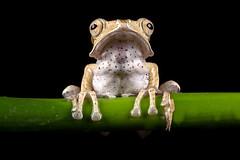 Borneo Eared Frog, CaptiveLight, Bournemouth, Dorset, UK (rmk2112rmk) Tags: borneoearedfrog captivelight bournemouth dorset uk polypedatesotilophus frog treefrog amphibian herps