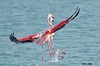 DOUBLE VISION !! (Amro Afifi) Tags: fly flamingo funny flying amroafifi amazing birds beautiful beach bird beauty double wow wildlife wild wounderful portrait photooftheday