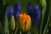 Be The Exception (d.cobb56) Tags: tulip garden nature dof bokeh purple yellow orange spring betheexception colorful flowers flower impact solo