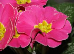02-IMG_7816 (hemingwayfoto) Tags: blühen blüte blume frühblüher frühlingsblume garten gartenblume gewächs natur pflanze pink primel primulaacaulis